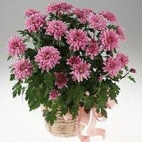 33. Gönülçelen -Inima furata - Heart Stealer - General Discussions - Comentarii - Pagina 40 Crizanteme