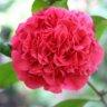 Trandafirul japonez