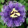Floarea pasiunii, calmant natural pentru stresul zilnic